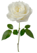 A single white rose 2